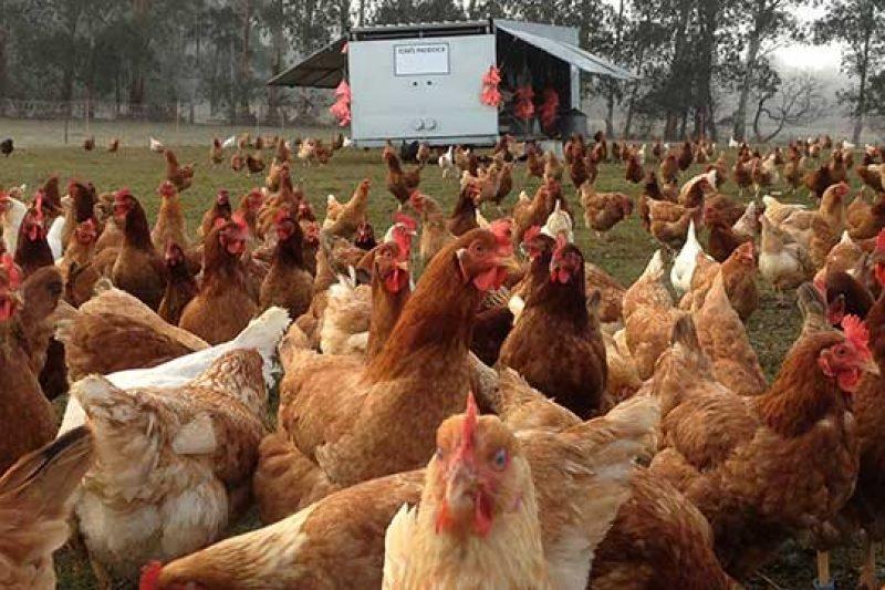 Slider_Chickens_Feeding_TomsPaddock